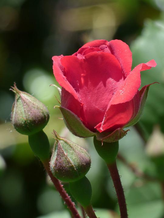 Flower, Nature, Rosa, Plant