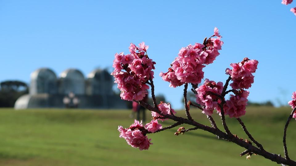 Jardim Botanico, Cherry, Flower, Rosa, July, Winter