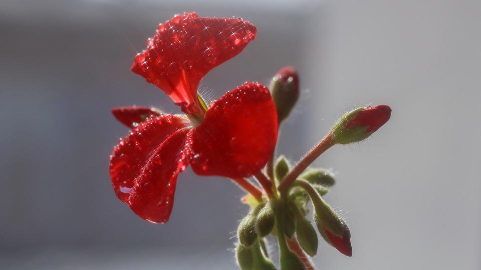Geranium, Red, Flowers, Rosa, Bud