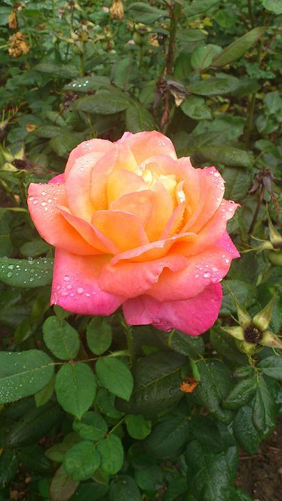 Rosa, Flower, Garden, Flowers, Nature, Roses, Pink