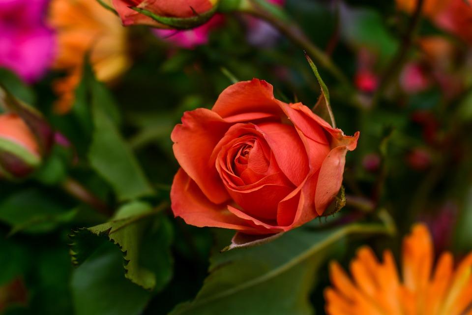 Flower, Rosa, Nature, Plant
