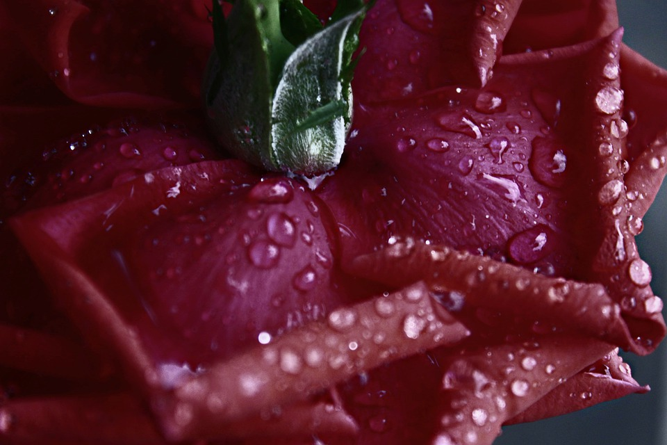 Rosa, Rossa, Flower, Plant, Drops, Wet, Water