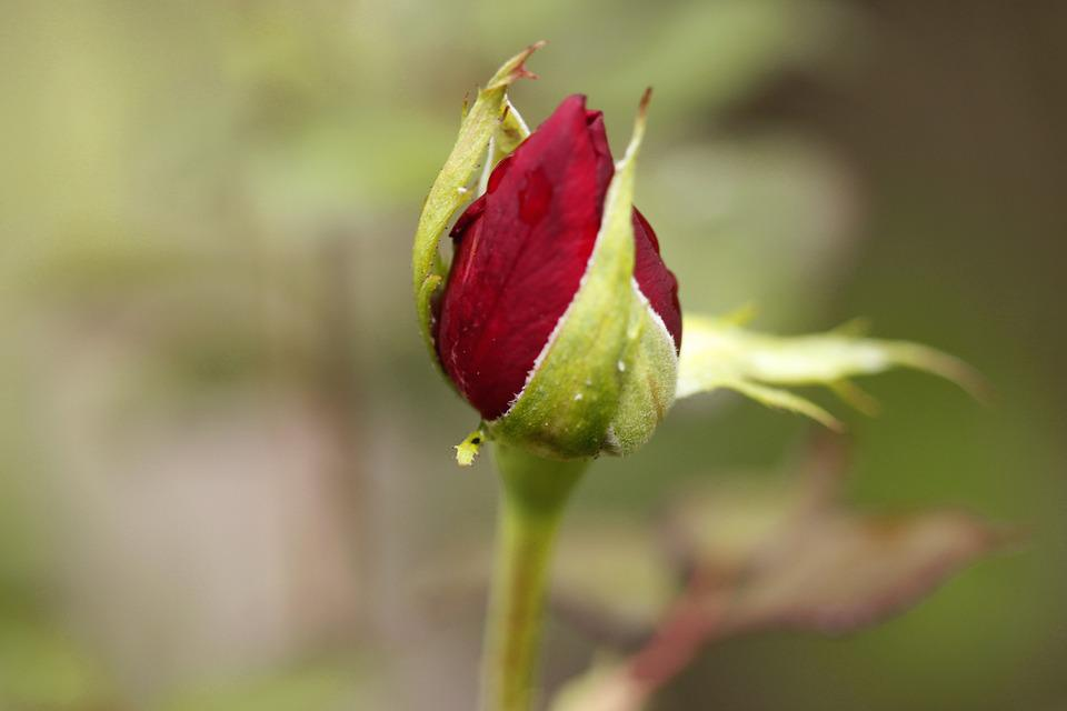 Rosa, Nature, Flower, Rose, Garden, Plant, Beautiful