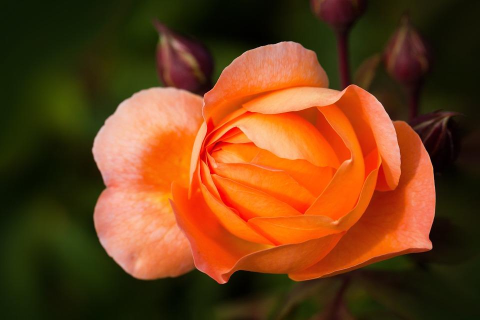 Rose, Rose Family, Rosaceae, Composites, Flowers, Bud