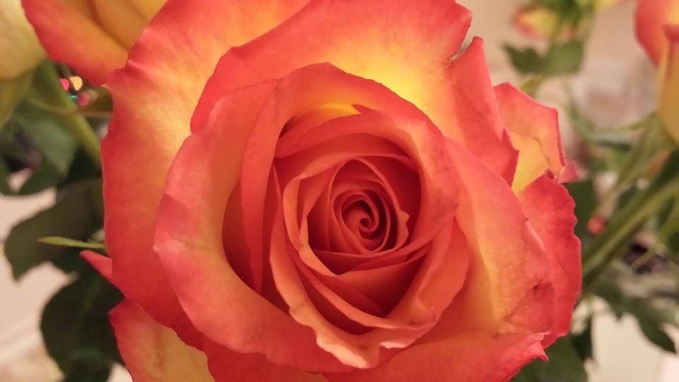 Rose, Rosaceae, Flower, Orange, Prickles, Thorny
