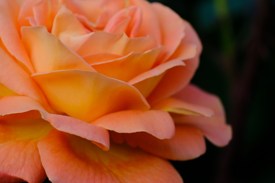 Flowers, Petal, Natural, Any Person Not, Rose, Plant