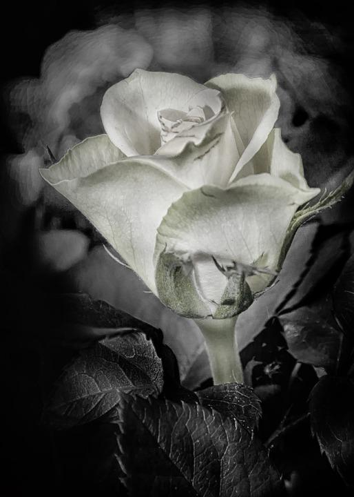 Rose, Hdr, Black And White, B W, Plant, Blossom, Bloom