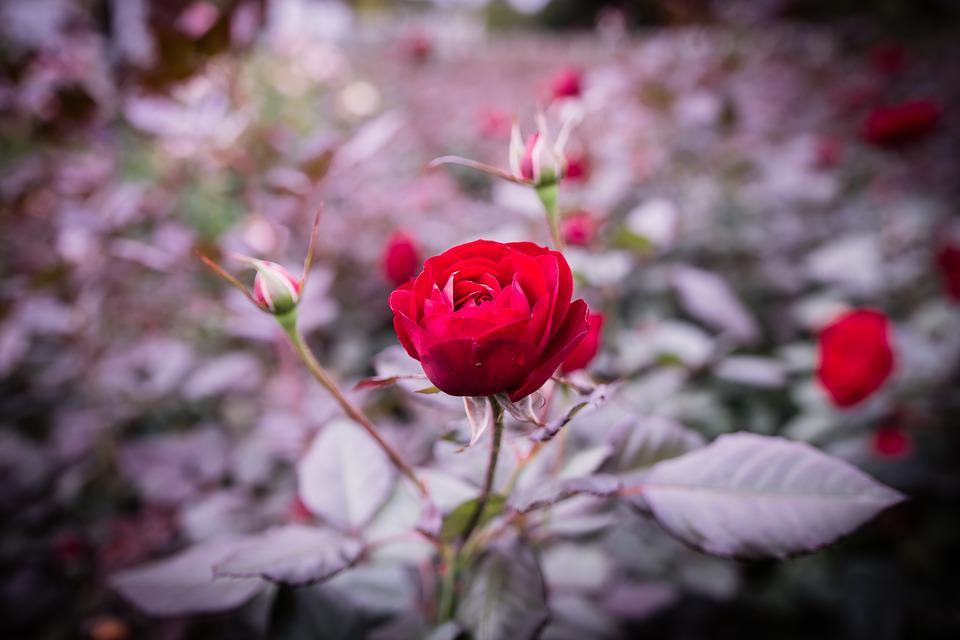 Images of beautiful red rose garden