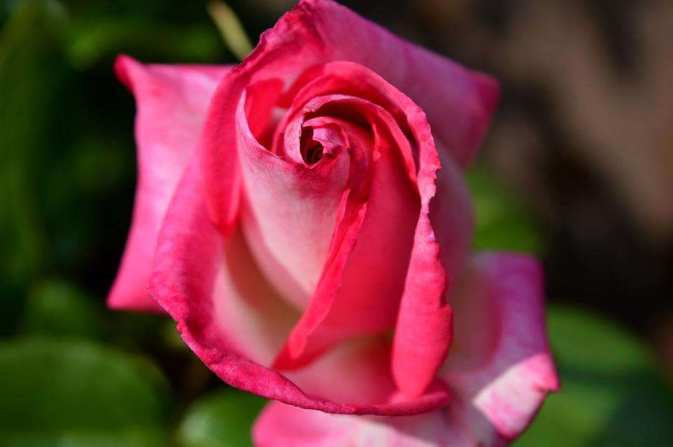 Rose, Red, Blossom, Bloom, Flower, Beauty, Rose Bloom