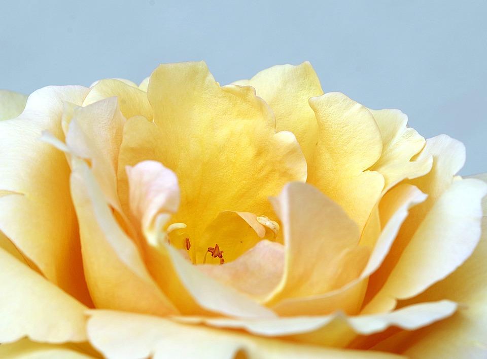 Rose, The Petals, Tea, Orange, Ornament, Beauty, Flower