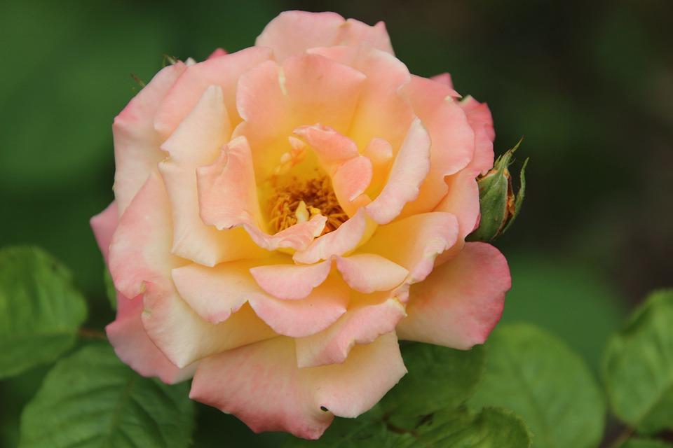 Rose, Bicolored Flower, Bicolored Petals, Flower