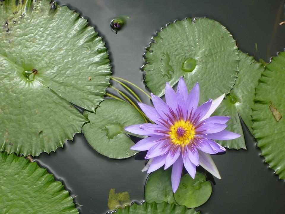 Seerose, Wasser, Rose, Flora, Green, Biotope, Mirroring