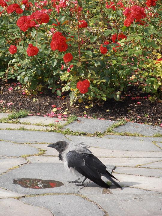 Crow, Rose, Flowers, Bird, Pathway, Flagstone