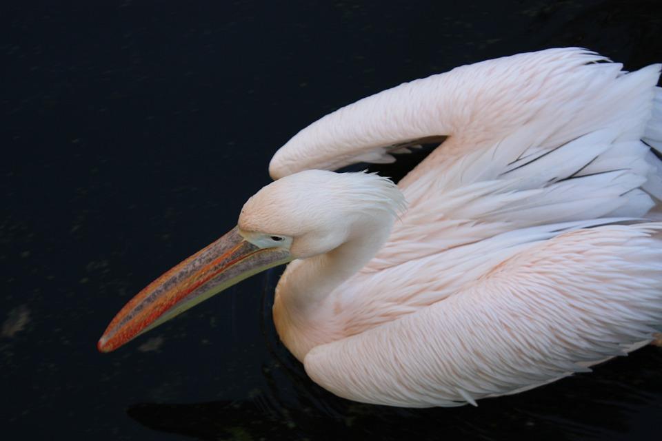 Pelican, Bird, Rose