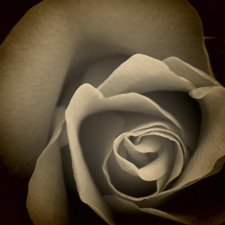 Rose, Flower, Rose Bloom, Black And White