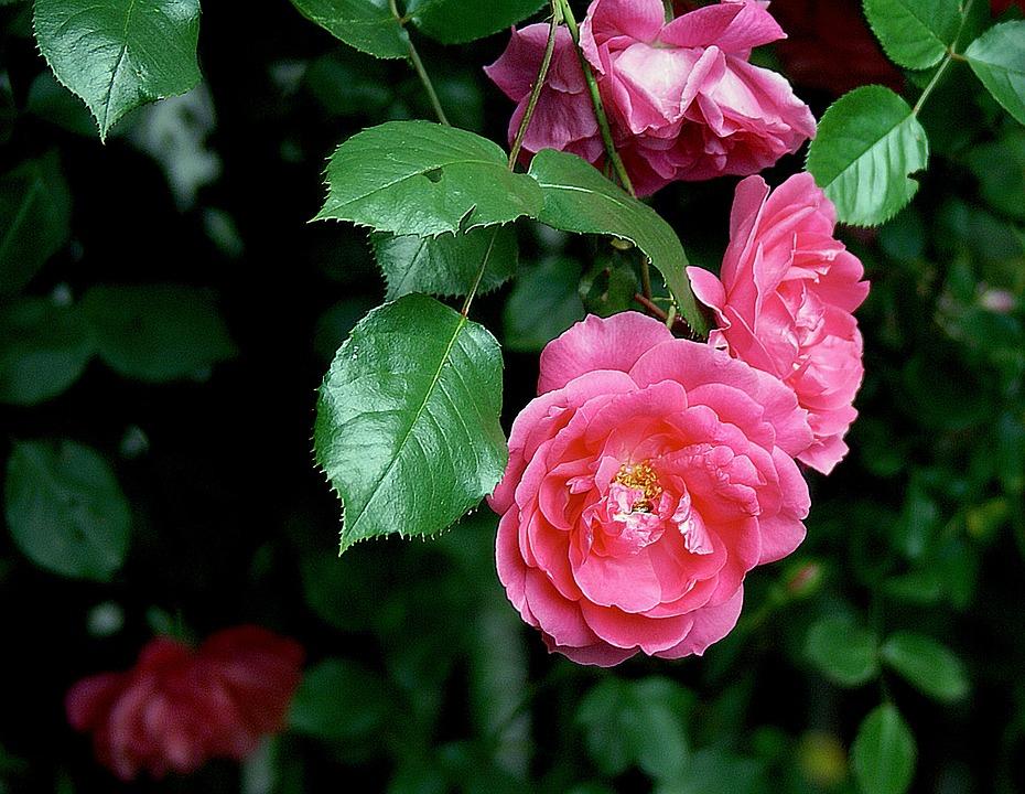 Rose, Flower, Roses, Nature, Flora, Rose Bladoróżowa