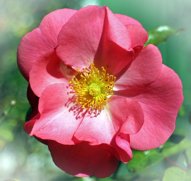 Rose, Blossom, Bloom, Red, Pink, Tender, Rose Bloom