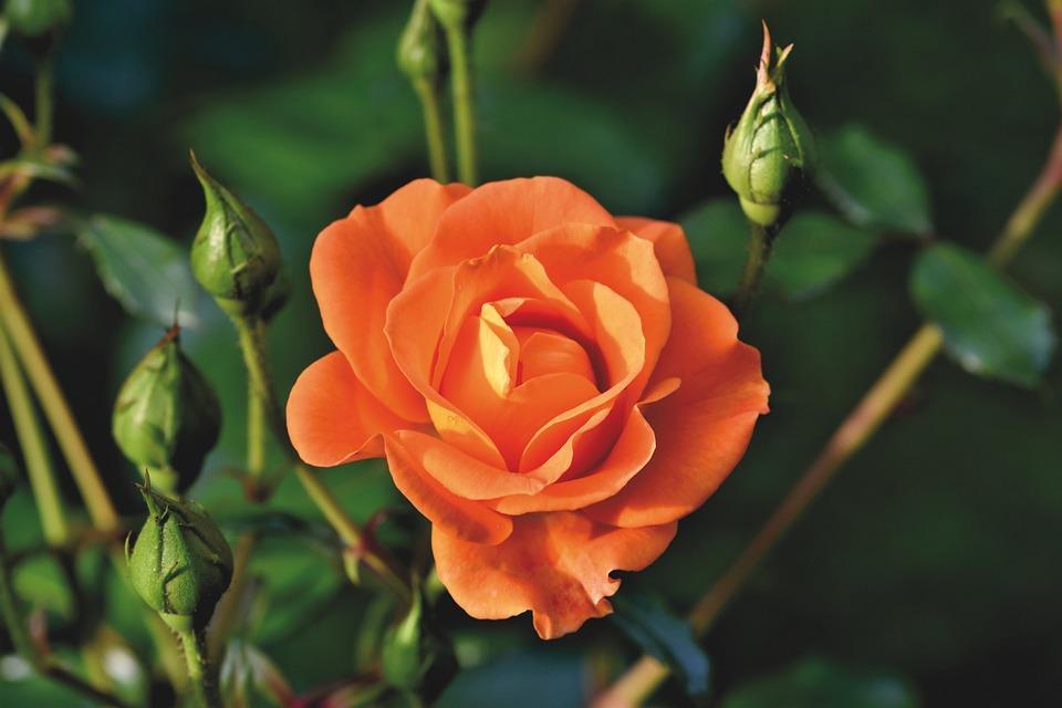 Rose, Flower, Blossom, Rose Bloom, Bloom, Garden, Plant