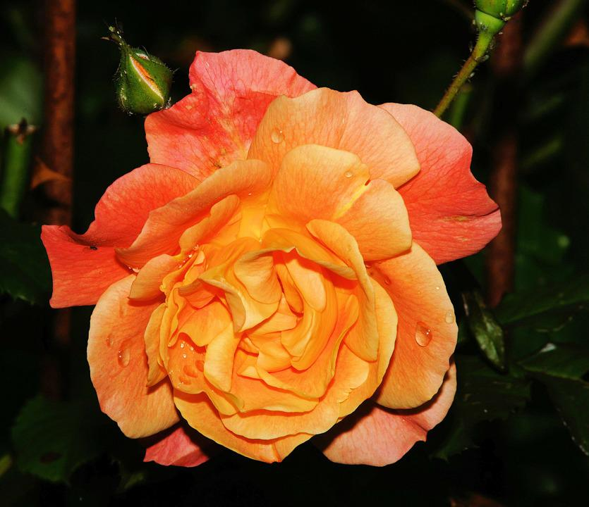 Rose, Late Summer, Blossom, Bloom, Close, Orange