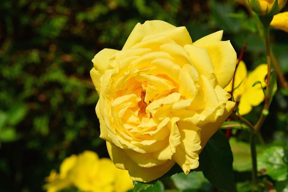 Blossom, Bloom, Flower, Rose, Close, Plant