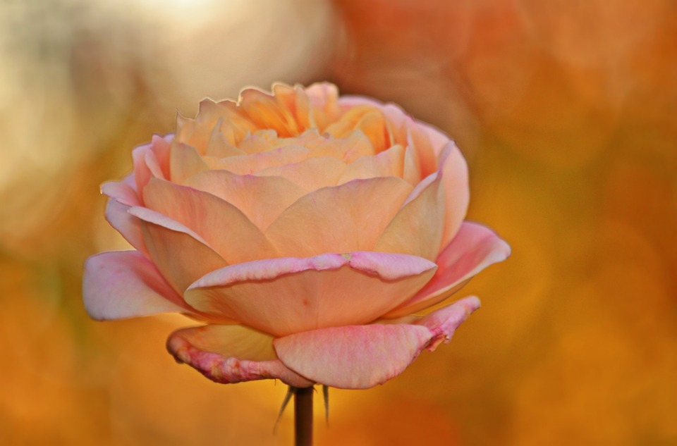 Rose, Blossom, Bloom, Flower, Rose Bloom, Beautiful