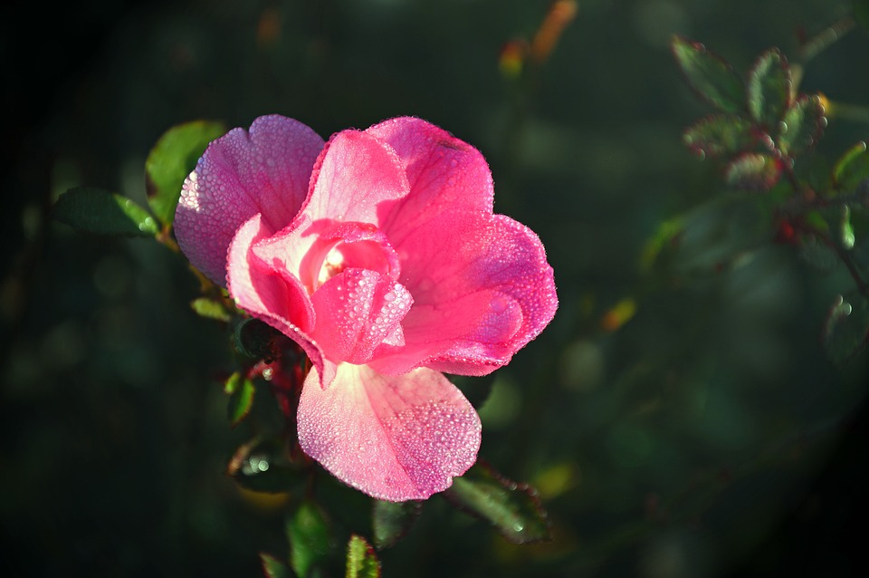 Rose, Wild Rose, Blossom, Bloom, Bloom, Roses