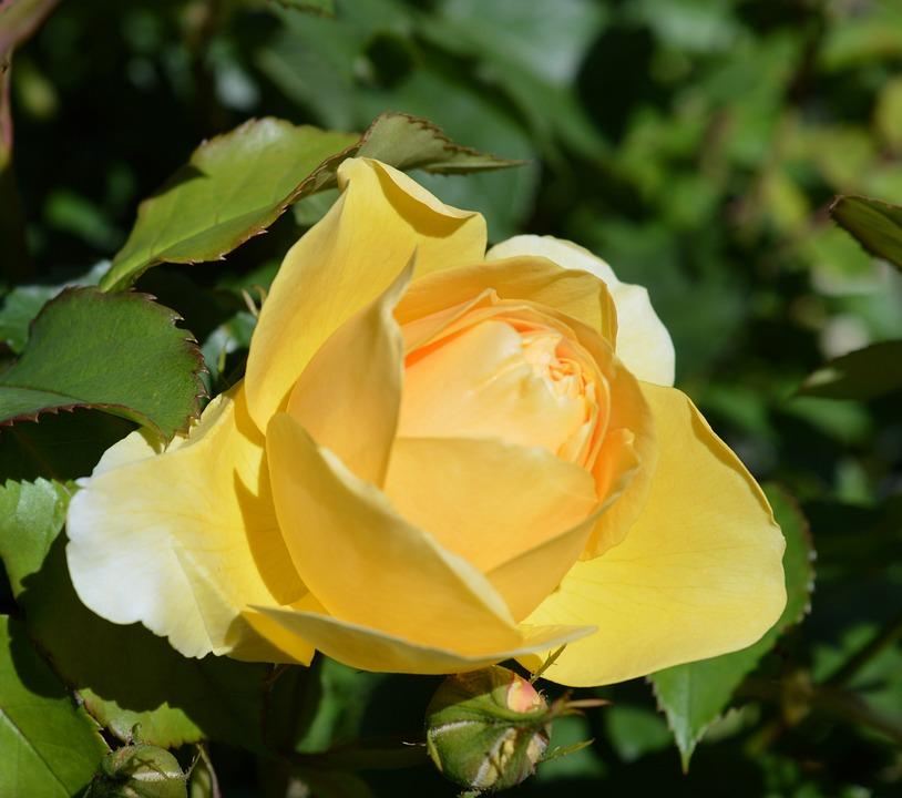 Rose, Floribunda, Rose Bloom, Rose Blooms, Yellow Rose