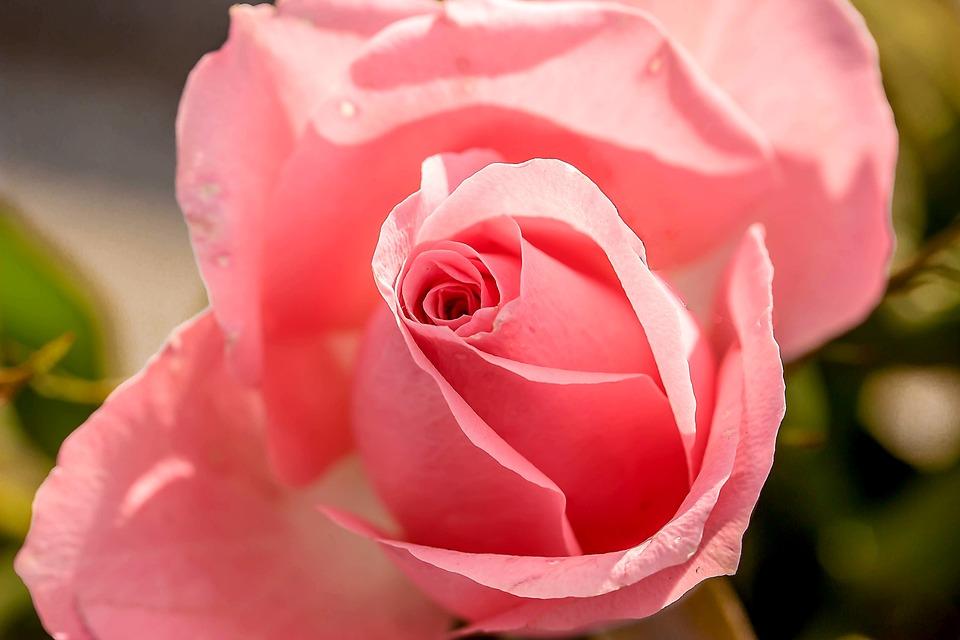 Rose, Rose Bloom, Flower, Blossom, Bloom, Pink, Summer