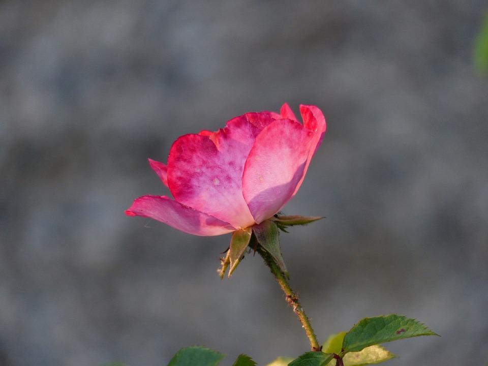 Rose, Flower, Pink, Flowers, Blossom, Bloom, Back Light