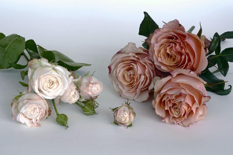 Roses, Salmon, Rose Bloom, Flower, Romantic, Love