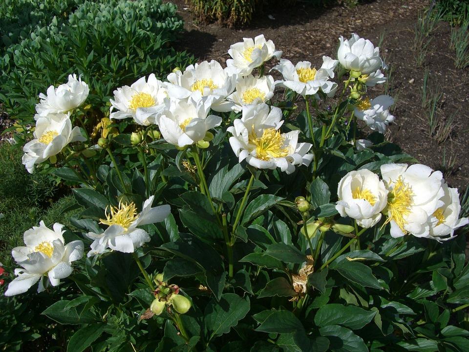 Peony, Rose, Blossom, Bloom, White, Garden, Flower