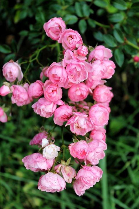 Roses, Flowers, Garden, Pink Flowers, Rose Bloom