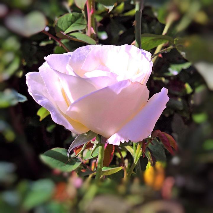 Plant, Floribunda, Rose Bloom, White, Pink Transparent