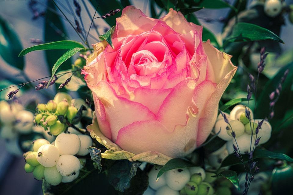 Rose, Rose Bloom, Leaf, Rosenblatt, Petal, White, Pink