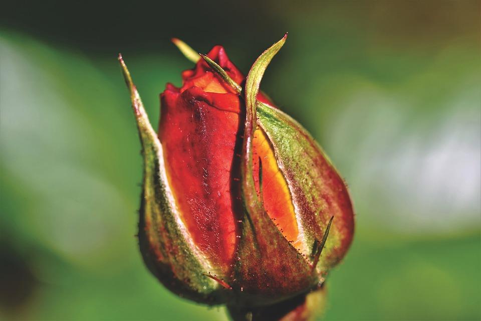 Rose, Rosebud, Rose Bloom, Bud, Blossom, Bloom, Flower