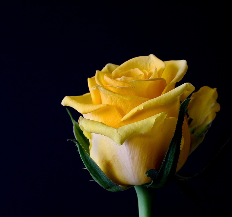Rose Bloom, Flowers, Plant, Roses, Yellow