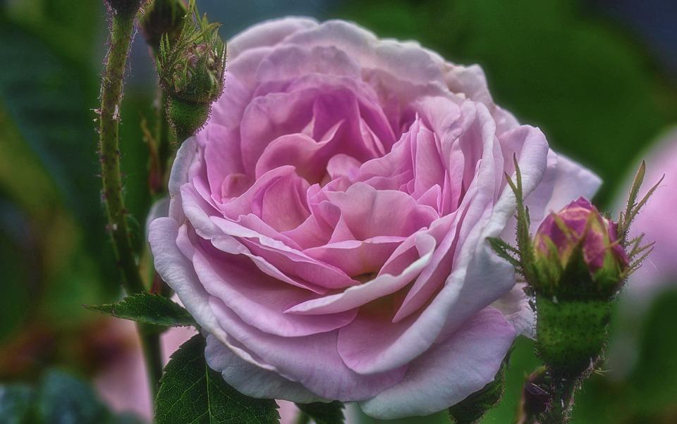 Rose, Pink, Beautiful, Flower, Rose Blooms, Pink Flower