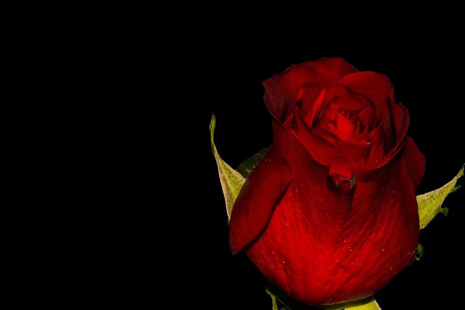 Rose, Rose Blooms, Flower, Red Rose