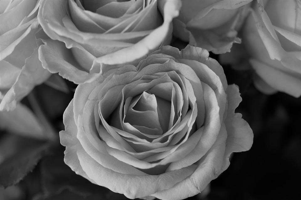 Roses, Flowers, Black And White, Nature, Rose Blooms
