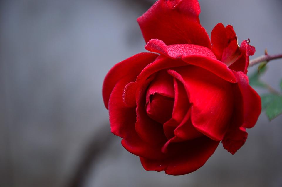 Rose, Blossom, Bloom, Bloom, Plant, Flower, Rose Bloom