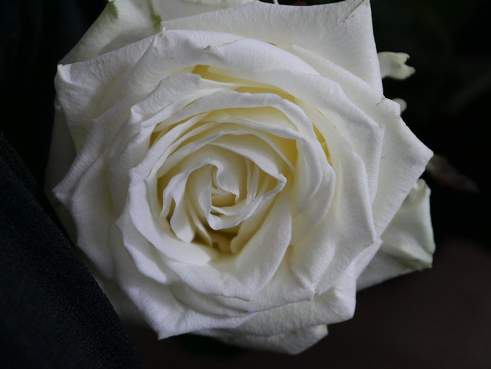 Free photo rose blossom bloom white flower fragrance max pixel white rose blossom bloom flower fragrance mightylinksfo