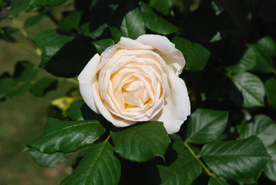 White Rose, Blossom, Bloom, Rose, Flower, Rose Bloom