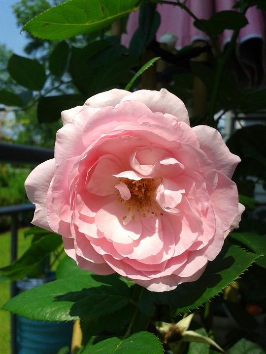 Flower, Rose, Valentine, Blossom
