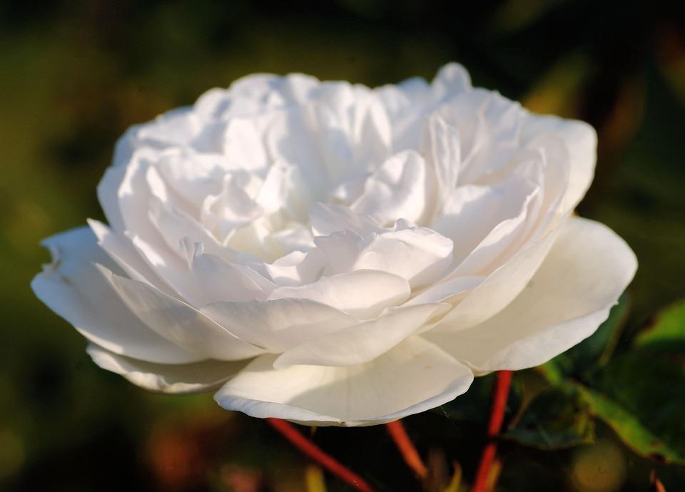 Rose, White, Blossom, Bloom, Nature, Fragrant, Plant