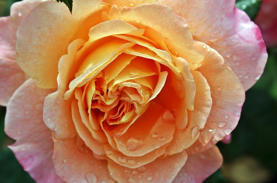 Rose, Moisture, Close, Yellow, Pink, Blossom, Bloom