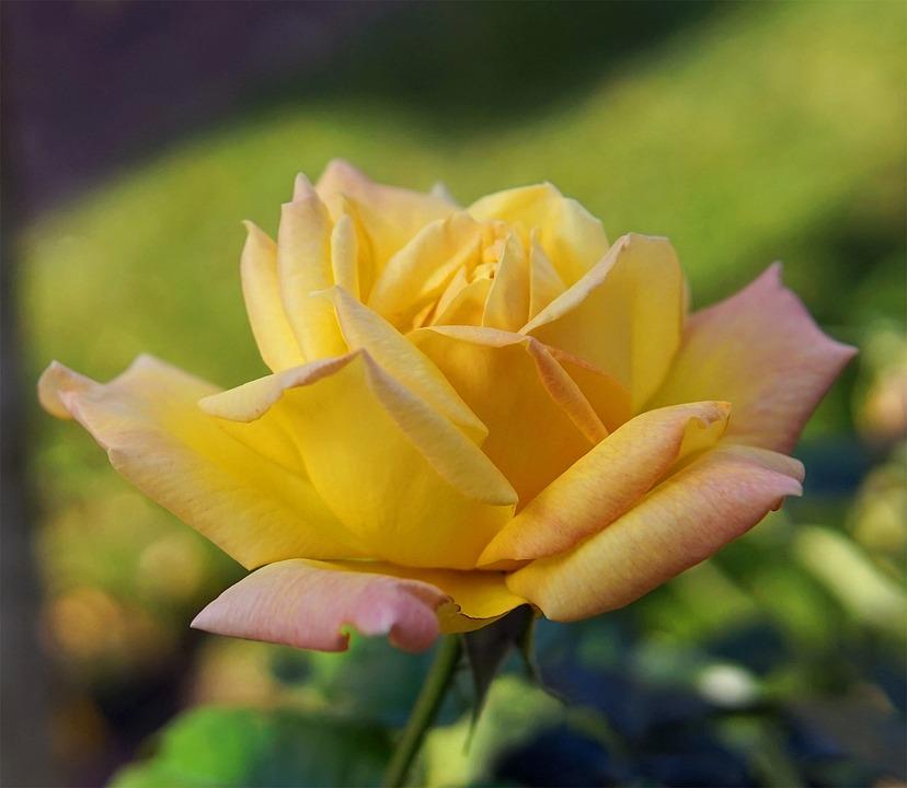 Rose, Yellow, Blossom, Bloom, Flower, Rose Bloom