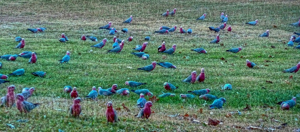 Birds, Cockatoo, Wild, Flock, Nature, Rose Breasted