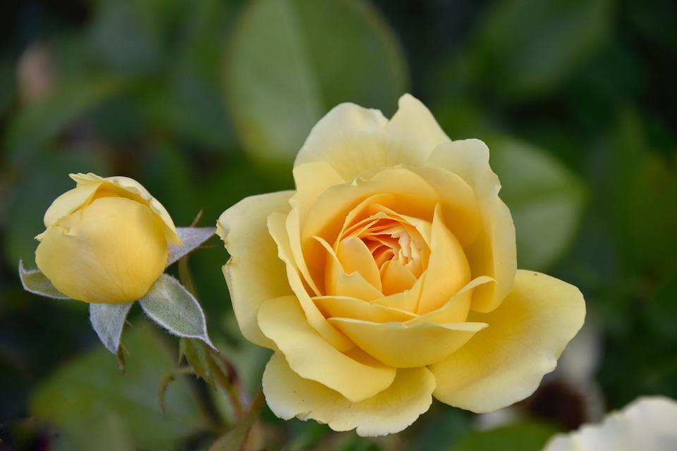 Pink, Rose Bud, Pink Yellow Color, Nature, Plant