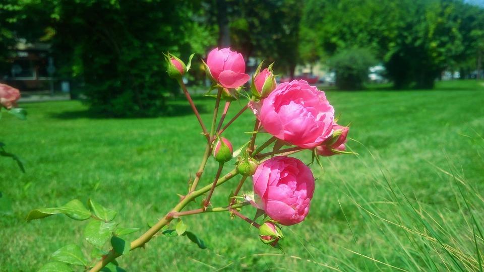 Nature Landscape, Rose, Rose Hip, Bush, Grass, Efi