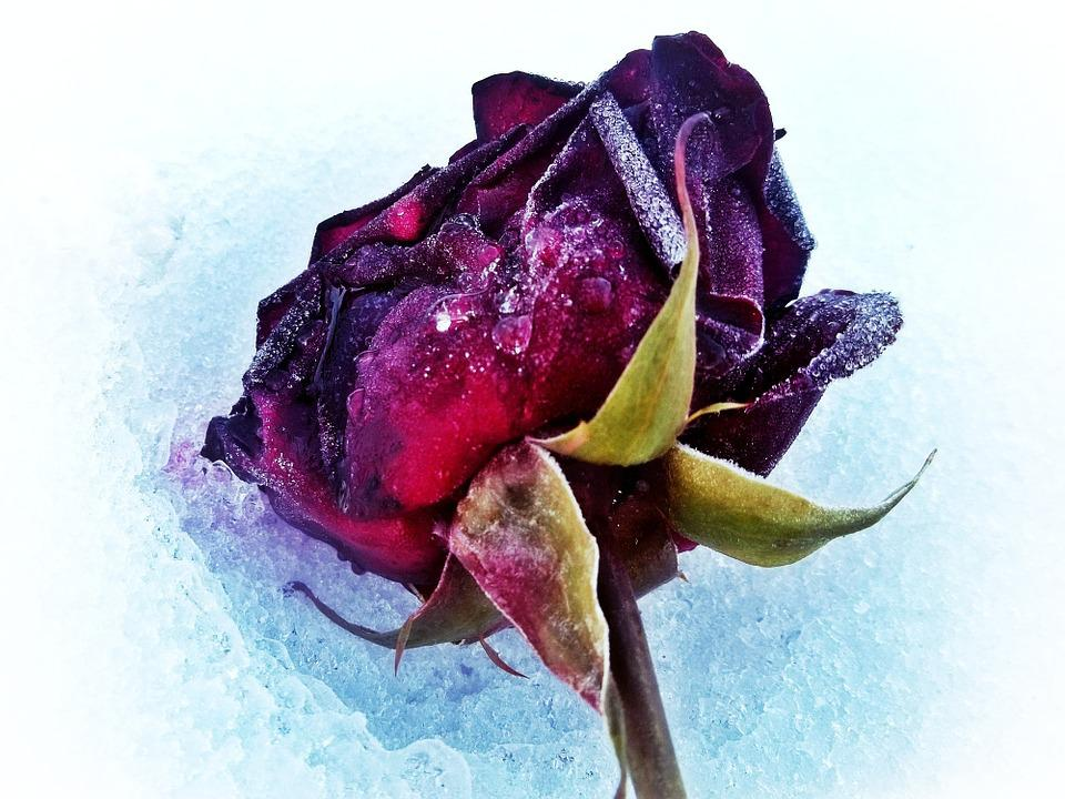 Rose, Snow, Winter, Red, White, Cemetery, Commemorate